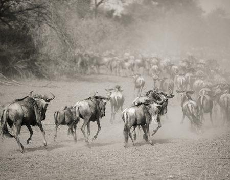 Wilderbeest in Serengeti af Julie Aucoin