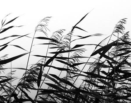 Windy weed black white af Kirsten Stigsgaard